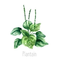 Watercolor plantain herbs vector image vector image