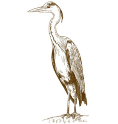Engraving of great blue heron vector