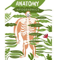 Skeleton anatomy infographics vector
