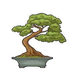 bonsai tree in pot vintage black engraving vector image