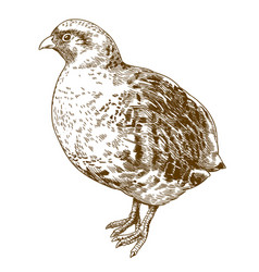 engraving drawing of grey partridge vector image