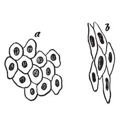 Simple pavement epithelium cells vintage vector