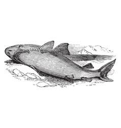 Great white shark vintage vector