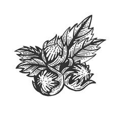 hazelnut nut sketch engraving vector image