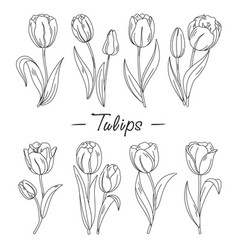 outline hand drawn tulips flowers vector image