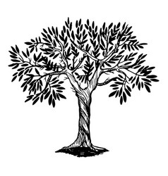 olive tree engraving vector image