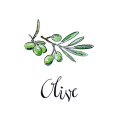 Watercolor green olives vector