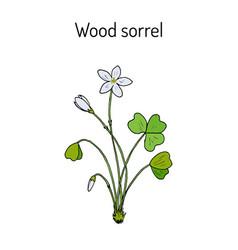 Wood sorrel wild flower vector
