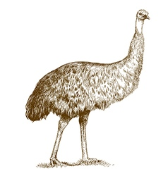 Engraving ostrich Emu vector
