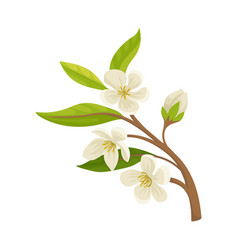 Branch of apricot fruit tree with small blossom vector