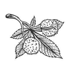 Chestnut tree branch sketch engraving vector