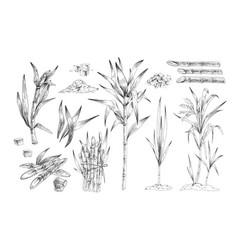 Sugar canes hand drawn set vector