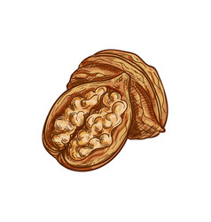 Walnut whole and cut fruit with kernel isolated vector