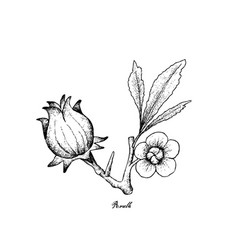 hand drawn of hibiscus sabdariffa or roselle vector image