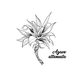 Palm leaves agave attenuata hand drawn engraving vector