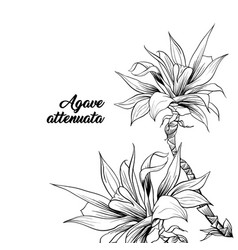 Agave attenuata with title hand drawn vector