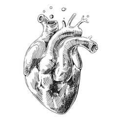 sketch of human heart vector image