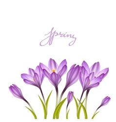 Spring violet crocuses on white vector image