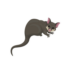 detailed flat icon of brushtail possum with vector image