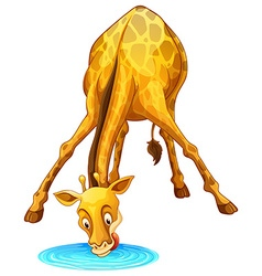 Giraffe drinking water from the puddle vector