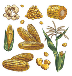 Hand drawn corn cereal maize plants corn vector