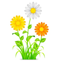 Daisy chamomile flowers vector image