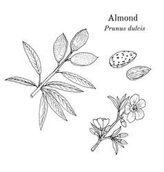 Medicinal and kitchen plant almond prunus dulcis vector