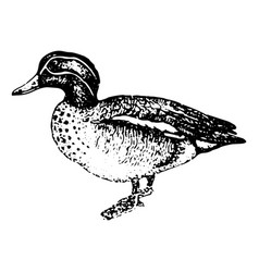 vintage engraving a duck vector image