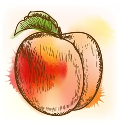 Peach watercolor painting vector image