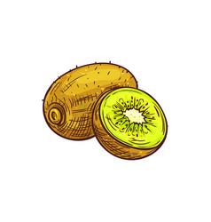 exotic kiwi fruit isolated tropical food dessert vector image