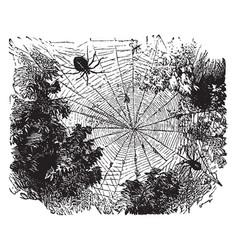 garden spider vintage vector image