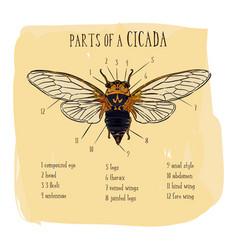 part cicada hand draw sketch vector image