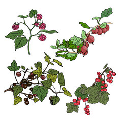 Red currant black currunt raspberry gooseberry vector