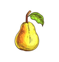 Bartlett pear isolated sketch summer fruit vector