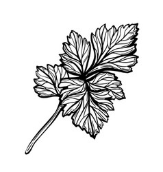 A sprig parsley isolated on white background vector