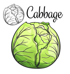 Cabbage drawing icon vector