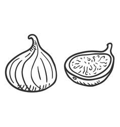 sketch fresh fig fruit vector image