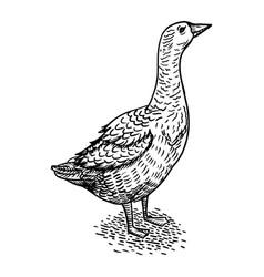 goose bird engraving style vector image vector image