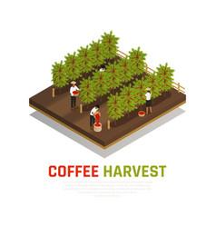 Coffee harvest isometric background vector