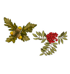 Hand-drawn rowan branch with red berries and oak vector
