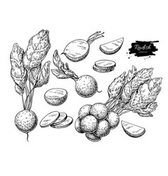 radish hand drawn set vector image