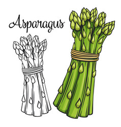 Asparagus drawing icon vector