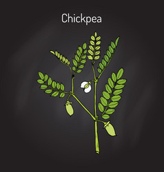 Chickpea cicer arietinum or bengal gram vector