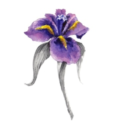Violet watercolor iris flower vector image vector image