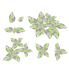 A Set of Acanthaceae Plant on White Background vector image