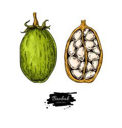 Baobab superfood drawing organic healthy vector