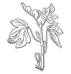 Fig tree vintage vector