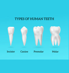 Realistic teeth types set vector