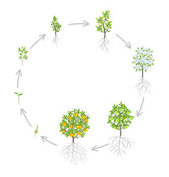 Peach tree growth stages vector