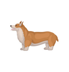 Welsh corgi standing in pose side view cute dog vector
